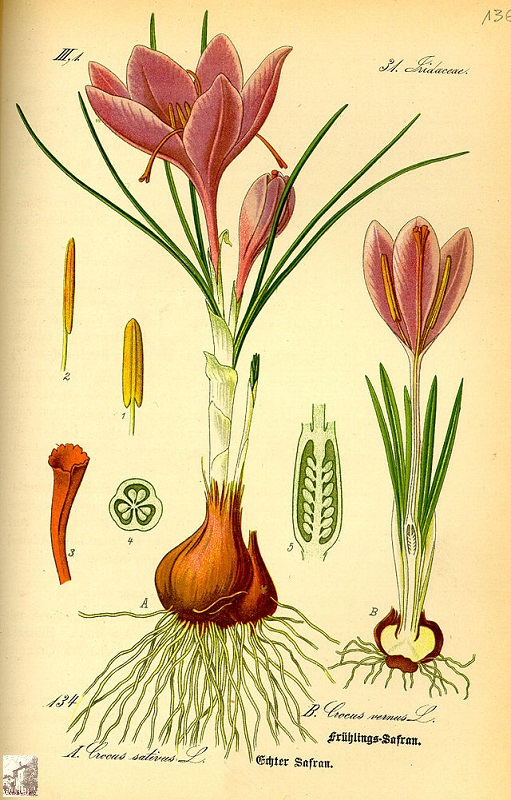 illustration_crocus_vernus0